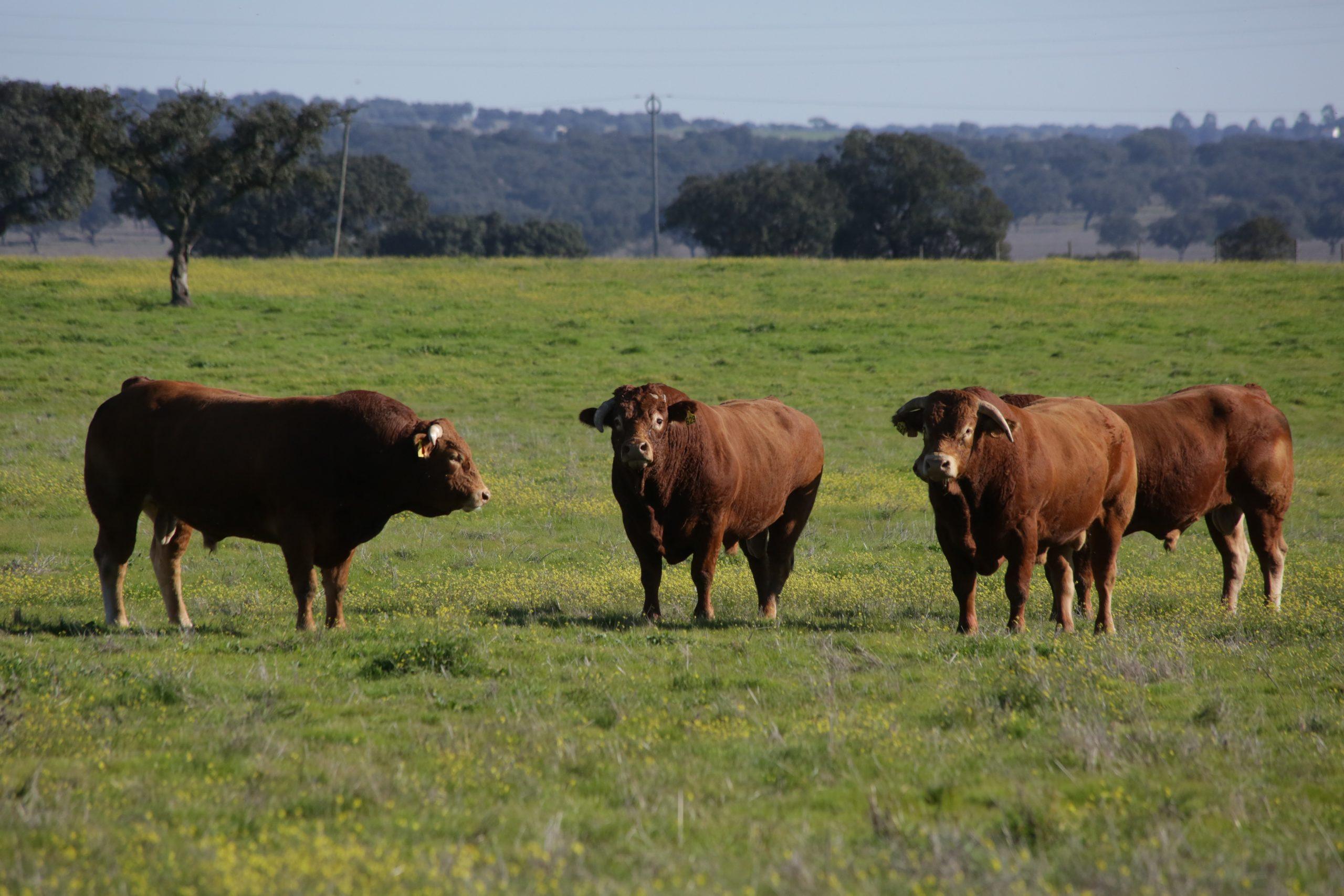 pecuária-bovinos