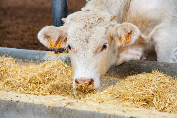 nutrição-bovinos
